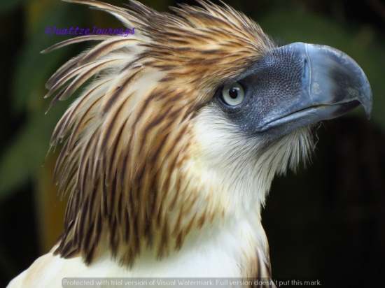 Philippine Eagle in Davao